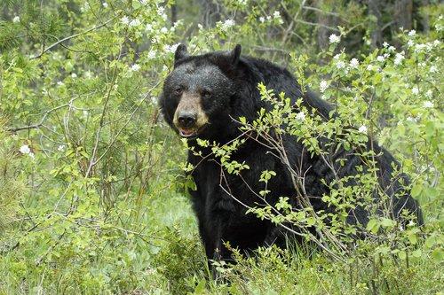 Black Bears -1.jpg