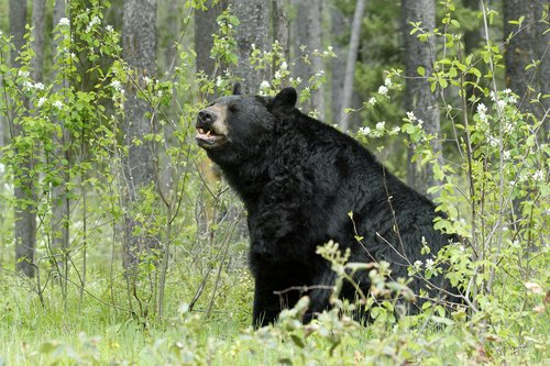 Black Bears -2.jpg