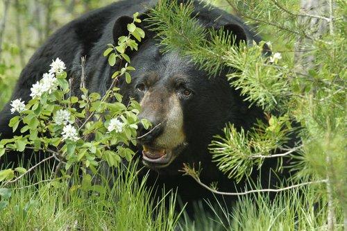 Black Bears -3.jpg