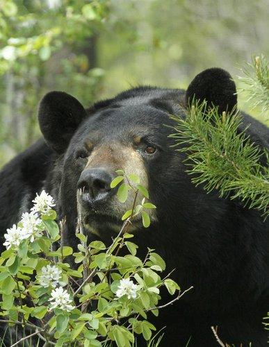 Black Bears -4.jpg