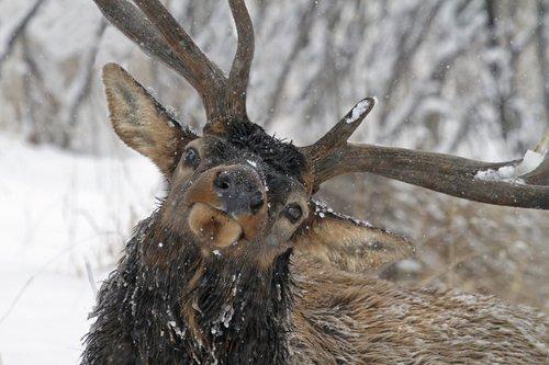 Elk 1000.jpg