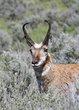 Antelope 1000.jpg