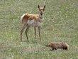 Antelope 1001.jpg