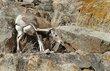 Bighorn Sheep 1000.jpg