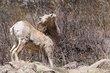 Bighorn Sheep 1001.jpg