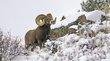 Bighorn Sheep 1002.jpg