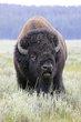 Bison 1002-2.jpg
