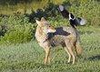 Coyote 1000.jpg