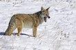 Coyote 1001.jpg