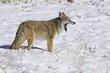 Coyote 1002.jpg