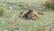 Coyote 1003.jpg