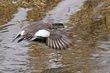 Ducks and Geese 1002.jpg
