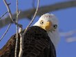 Eagles 1001.jpg