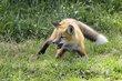 Fox 1003.jpg