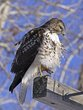 Hawk 1002.jpg
