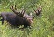 Moose 1001.jpg