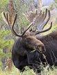 Moose 999.jpg