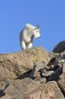 Mountain Goats -1.jpg