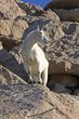 Mountain Goats -2.jpg