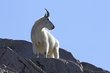 Mountain Goats -3.jpg