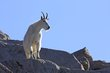 Mountain Goats -4.jpg