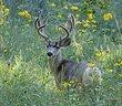 Mule Deer -2.jpg