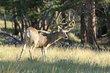 Mule Deer -4.jpg