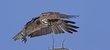 Osprey -1.jpg