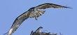 Osprey -11.jpg