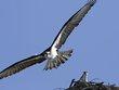 Osprey -12.jpg