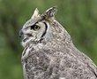 Owl -1.jpg