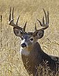 Whitetail Deer1000.jpg