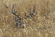 Whitetail Deer1001.jpg