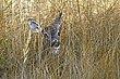 Whitetail Deer1002.jpg