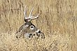 Whitetail Deer1003.jpg