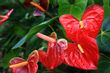 Red Anthurium Flowers.jpg