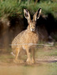 Brown Hare Portrait.jpg