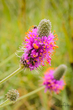 Prairie Clover Surprise.jpg