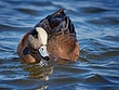 American Widgeon 1201.jpg