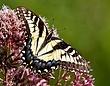 Appalachian Tiger Swallowtail-Papilio appalachiensis1202.jpg