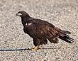 Bald Eagle - Immature1001.jpg