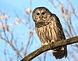 Barred Owl 0904.jpg