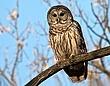 Barred Owl 0908A.jpg