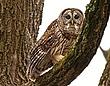 Barred Owl 1001.jpg