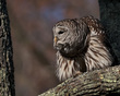Barred Owl 1703.jpg