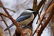 Black Capped Chickadee 0901.jpg