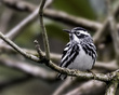 Black and White Warbler 1701.jpg