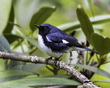 Black-throated Blue Warbler 1701.jpg