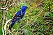 Blue Grosbeak 0901.jpg