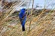 Blue Grosbeak 0902.jpg